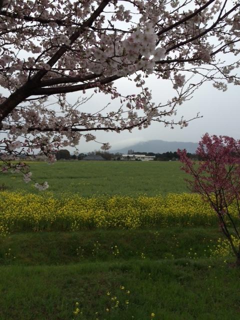菜の花と桜と八面山が一枚に収まるスポット